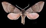 Agnosia orneus MHNT CUT 2010 0 231 Dehra Dun female dorsal.jpg