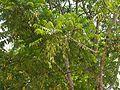 Ailanthus triphysa (5597249595).jpg