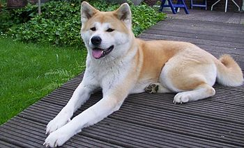 English: Japanese Akita-Inu.