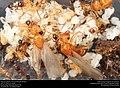 Alate ant queens on brood (Pheidole dentata) (41317173565).jpg