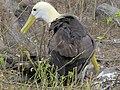 Albatross birds - Espanola - Hood - Galapagos Islands - Ecuador (4871598764).jpg