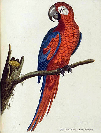"Eleazar Albin - ""Albin's Macaw"", a Jamaican parrot only known from this 1740 painting by Eleazar Albin"