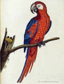 Albin's Macaw.jpg