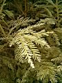 Albino Redwood closeup.jpg