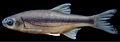 Alburnoides eichwaldii - ZooKeys-276-085-g007.jpeg