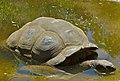 Aldabra Tortoise (Dipsochelys dussumieri) (9176753501).jpg