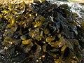Algas pardas - Fucus (6329392303).jpg
