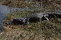 Alligator-rj1.jpg