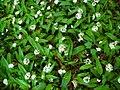 Allium ursinum 001.JPG