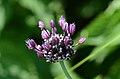Allium vineale (7334879150).jpg