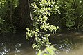 Alnus glutinosa (Aulne glutineux).jpg