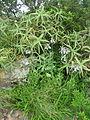 Aloe arborescens - Ponduine 3 (10240651774).jpg