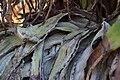 Aloe speciosa, Victoria Esplanade Park (5).jpg