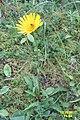 Alpine flora (Gru) (37173785594).jpg
