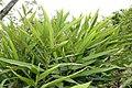 Alpinia nutans 8zz.jpg