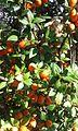 Alyxia ruscifolia frutos.jpg