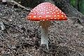 Amanita muscaria (44460424420).jpg