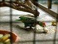 Amazona viridigenalis -Thonburi Snake Farm-6a.jpg