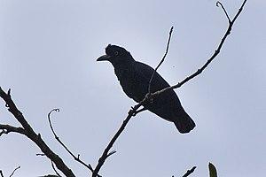 Amazonian umbrellabird - Female