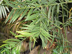 Amentotaxus yunnanensis - Lyman Plant House, Smith College - DSC04389.JPG
