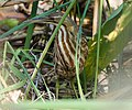 American Bittern in Corkscrew Wildlife Sanctuary (32615487326).jpg