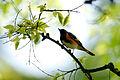 American Redstart (7235503300).jpg