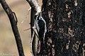 American Three-toed Woodpecker Signal Burn Gila NF NM 2017-10-18 09-01-40 (27296207849).jpg