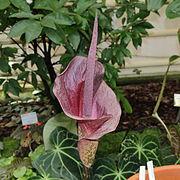 Amorphophallus Wikipedia Bahasa Indonesia Ensiklopedia Bebas
