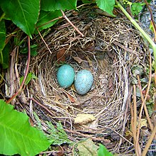 A blackbird's nest with two blue eggs snugly inside it.