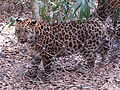 Amur leopard (Panthera pardus) at Jacksonville Zoo.jpg
