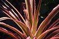 Ananas comosus in Jardin botanique de la Charme 01.jpg