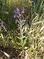 Anchusa officinalis 17-06-2006 5.17.28.JPG