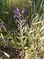 Anchusa officinalis 17-06-2006 5.17.28.JPG