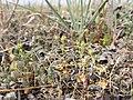 Androsace elongata sl60.jpg