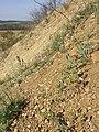 Androsace maxima sl75.jpg