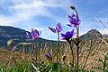 Anemone coronaria - Popy anemones 06.JPG