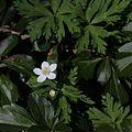 Anemone flaccida s9.jpg