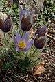 Anemone pulsatilla subsp grandis kz01.jpg