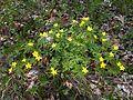 Anemone ranunculoides20130510 145059.jpg