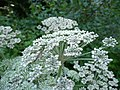 Angelica sylvestris 03 by Line1.jpg