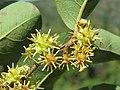 Anogeissus latifolia at Masinagudi (2).jpg