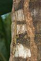 Anolis oculatus at Batalie-2011 10 30 0127.jpg