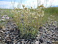 Antennaria microphylla (5124284296).jpg
