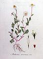 Anthemis arvensis — Flora Batava — Volume v8.jpg