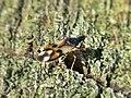 Anthocoris nemorum (Common flowerbug), Arnhem, the Netherlands.jpg