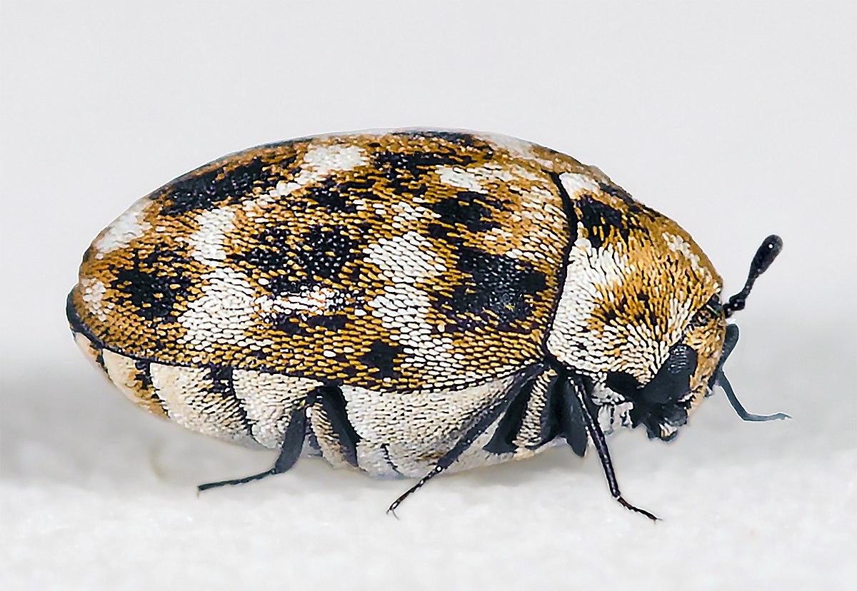 Кожееды — Википедия