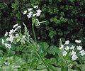 Anthriscus sylvestris Fluitenkruidbloemen.jpg