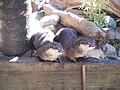 Aonyx cinera in Zoo.jpg