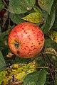 Apple Malus domestica Zoete Peppel. (actm).jpg