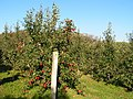 Apple Orchard - geograph.org.uk - 71010.jpg